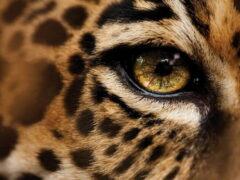 Численность дальневосточного леопарда — не менее 80 особей