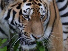 В Приморье спасли раненую охотником тигрицу