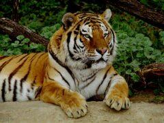В Приморье раненая охотником тигрица не выжила