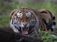 Впервые в России заповеднику вручен тигриный сертификат