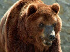 Кировский район Приморского края атакуют медведи