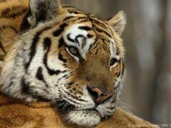 Владивосток готовится к «Дню тигра»