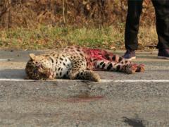 В Приморье под колесами автомобиля погиб леопард