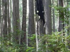 Из-за засухи в Калифорнии могут погибнуть десятки миллионов деревьев