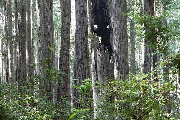 леса Калифорнии