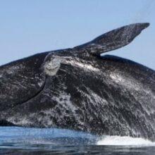 Как узнать точный вес кита