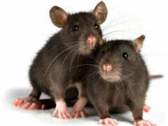 Ростовские ученые готовят крыс к борьбе с терроризмом