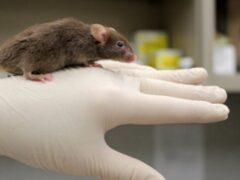 Ученые вырастили самца мыши без мужской Y-хромосомы
