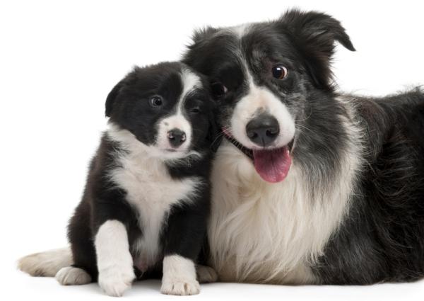 собака бордер-колли