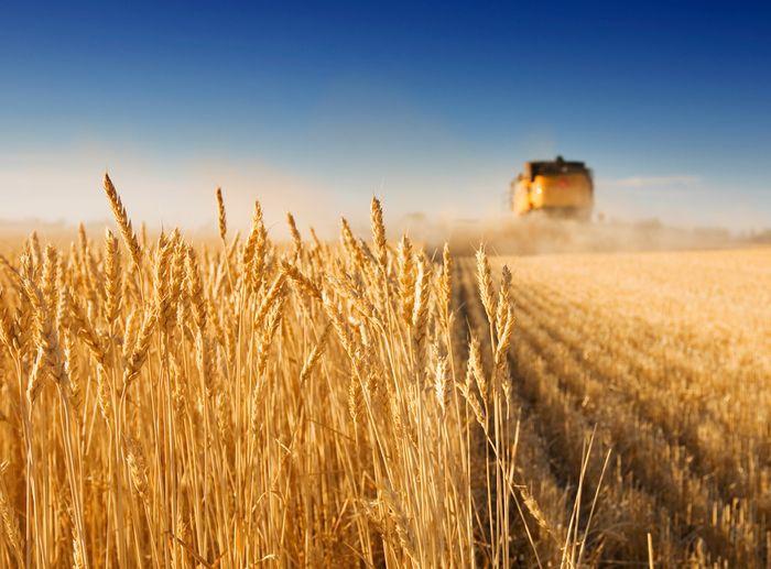 пшеница поле