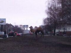 Из передвижного зоопарка в Уфе сбежали медведь и верблюд