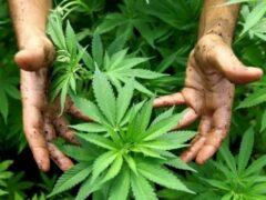 Ученые доказали, что зависимость от марихуаны обусловлена генетически