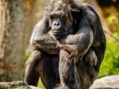 Ученые: В поведении политиков и обезьян есть сходства