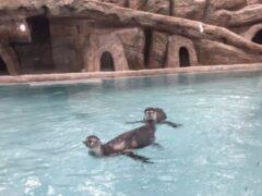 В Новосибирском зоопарке впервые поселились пингвины