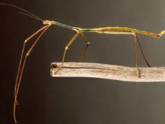 В Китае обнаружено самое длинное насекомое в мире