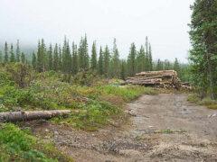Спекулянты пытаются сорвать первый честный аукцион по лесу в Иркутской области