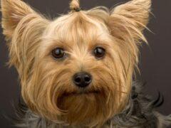 У спящего череповчанина выкрали бытовую технику и породистую собаку