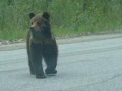 Под Екатеринбургом фура насмерть сбила медвежонка