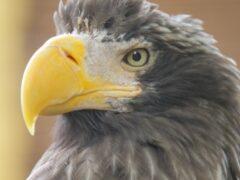 Из Петербурга в Хакасию на самолете улетел белоплечий орлан