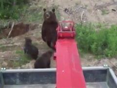 В Якутии медведица с медвежатами напала на работников шахты