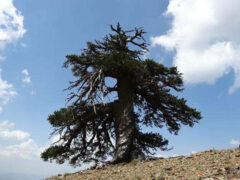 Ученые обнаружили в Европе самое старое дерево