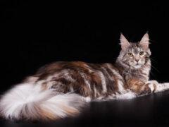 В Новосибирске супруги делят в суде домашних котов