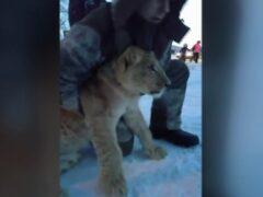 В Ханты-Мансийске ловили сбежавшего из цирка льва
