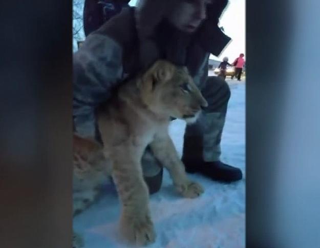 словили львенка