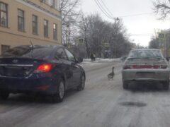 Гуси спровоцировали пробку на Леонтьевской улице в Пушкине