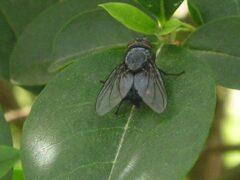 Ученые: Свет помогает мухам найти пару