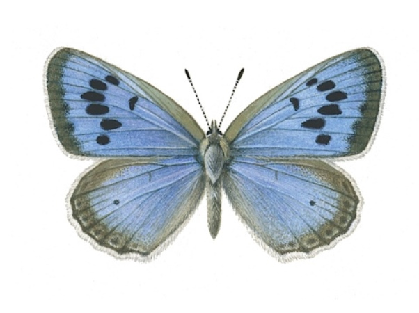бабочка голубянка арион