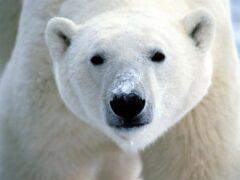 Белый мишка исследовал челябинский кран в Арктике