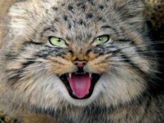 История взорвала Интернет: Кот манул загрыз грабителей в Челябинской области