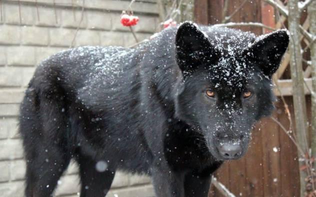 ВПетербурге задержали мужчину, укравшего собаку редкой породы