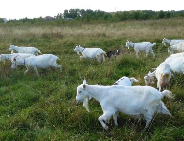 __козы, коза, домашние животные