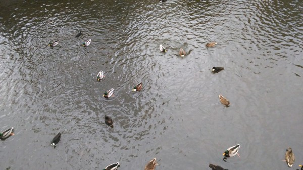 __ утки, река, водоем, озеро