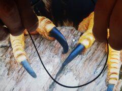 Неандертальцы использовали когти беркутов в качестве украшений